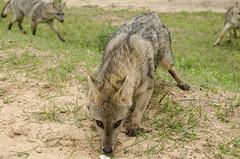 Zorro (lucaschez) Tags: naturaleza argentina nikon fox entre 1855mm ros aire zorro libre palmar d5100