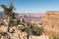 Rooted In Stone (Ron Drew) Tags: park arizona nature nationalpark nikon grandcanyon az d800