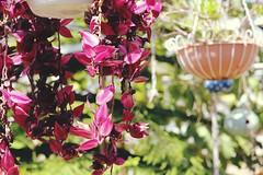 (Stephanie DiCarlo) Tags: pink flowers plants green spring pretty greenhouse dreamy botanicalgarden rogerwilliamspark