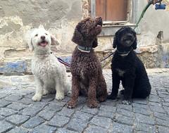 IMG_7952 (fotodomagency) Tags: собаки черная белая португалия разноцветные коричневая