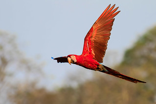 Red-and-green Macaw in flight