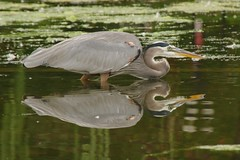 reflected crouch (philliefan99) Tags: reflection nature birds washingtondc districtofcolumbia nationalmall dcist greatblueheron constitutiongardens ardeaherodias capitalweather