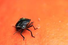 bug on a pumpkin IMG_1086- (Ludo_M) Tags: orange macro nature canon bug is bokeh wildlife usm f28l ef100mm canoneos7d ef100mmf28lmacroisusm