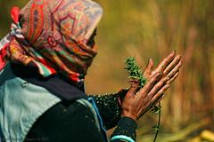 Hand rubbing (f/4) Tags: india manali cannabis himachal tosh kullu hashish pradesh charas parvati