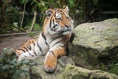 2015-10-24-10h09m12.BL7R7933 (A.J. Haverkamp) Tags: zoo thenetherlands siberiantiger amersfoort dierentuin dierenparkamersfoort amurtijger siberischetijger httpwwwdierenparkamersfoortnl canonef100400mmf4556lisusmlens
