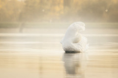 Lenka (Katarina Drezga) Tags: autumn lake nature birds animals swan swans vojvodina srem nikond3100 nikkor55300mm4556gvr