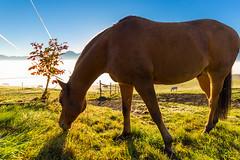 Pferd im Gegenlicht (Kiwibu) Tags: horses horse pferde pferd zell blauesland grosweil kochelmoos