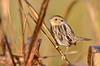 Le Conte's Sparrow (malcolmgold) Tags: usa kansas shawneemissionpark 2015 lecontessparrow johnsoncounty