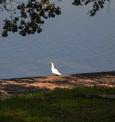 Uccello acquatico al lago di Vico (giorgiorodano46) Tags: autumn italy fall lago autunno lazio lagodivico uccelliacquatici lagovulcanico monticimini novembre2015