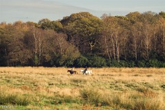 Richmond Park (stefanopad82) Tags: park uk autumn horses horse green london nature animals landscape focus view 85mm richmond made vogue mf f2 manual jupiter stefano ussr riders f20 joky padoan photovogue jupiert9