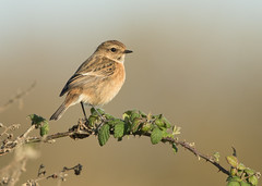 Stonechat - Saxicola rubicola (Gary Faulkner's wildlife photography) Tags: dungeness stonechat rspbreserve kentbirds