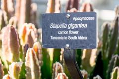 DSCF6386.jpg (Darren and Brad) Tags: plants washingtondc botanicgardens stapeliagigantea carrionflower