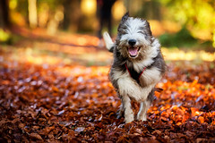 Happy dog (45/50) (Stuart Stevenson) Tags: uk smiling photography scotland running beardie beardedcollie bounding happydog clydevalley stuartstevenson appicoftheweek