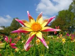 Happy weekend! (libra1054) Tags: dahlia flowers flores closeup fleurs garden star flora outdoor jardin blumen jardim fiori garten giardino dahlien weerkend jardn