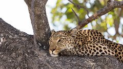 20151110_Shinde_0578.jpg (eLiL1860) Tags: leopard botswana okavango tierwelt safari2015