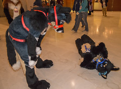 DSC_0055 (Acrufox) Tags: chicago illinois furry midwest december ohare rosemont convention hyatt regency 2014 fursuit furfest fursuiting acrufox mff2014