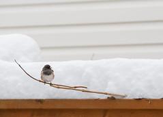 Perched (Mason Aldridge) Tags: winter snow birds wildlife thrush junco nature birdseed birdfeeder color december cute sweet adorable plump mama birdy canon 6d 80200 80200l 8020028l f28l