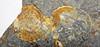 Fossiliferous chert (Upper Mercer Flint, Middle Pennsylvanian; Nellie West Outcrop, Coshocton County, Ohio, USA) 10 (James St. John) Tags: flint chert ohio pennsylvanian upper mercer nellie pottsville group fossil fossils fossiliferous