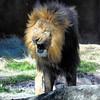 Lion (Daniel Guerrero Pictures) Tags: lion bless king wild life wildlife nature buschgardens tampa unitedstates estadosunidos animals animales naturaleza