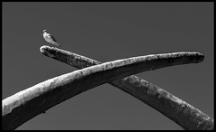 Mine! (Ramon Quaedvlieg Photo) Tags: gull seagull animal nature bird birds aves safaripark safariparkbeeksebergen beeksebergen hilvarenbeek netherlands animalia animals outdoor sky blackandwhite blackandwhitephotography lari chordata laridae beak light dark shadow seabird charadriiformes