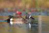Blue-winged Teal (Melis J) Tags: baycarepond bird bluewingedteal duck ducks florida anasdiscourse
