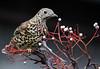 Mistle Thrush (Chris Kilpatrick) Tags: canon60d chris outdoor nature wildlife bird mistlethrush ramsey isleofman rain animal january springwatch canon sigma150mm600mm rowan berries