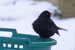 Mr Blackbird (gunnar.berenmark) Tags: fågel bird turdusmerula commonblackbird koltrast male hane winter vinter uppburrad