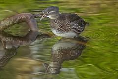 Mandarin duck (Marijke M2011) Tags: madarinduck aixgalericulata mandarijneend perchingduck wildspecies bird duck wildlife animal nature outdoor