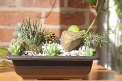 Bonsai dish garden w/ Haworthia, Burro's Tails, Cremnosedum Little Gem, assorted sedums