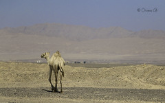Camel-14 (Osama Ali Photography) Tags: animal animals animales camels camel camello desert desierto sand sahara salvaje arena wildlife wild egypt egipto dry seco sunlight جمل جمال صحراء مصر البرية حيوانات