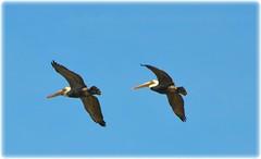 St Petersburg, Florida (lagergrenjan) Tags: st petersburg florida pelicans watermark