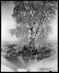 Pinhole Birch (Foide) Tags: 4x5 film pinhole pinholetree fomapan snow winter birch frost rime hoarfrost