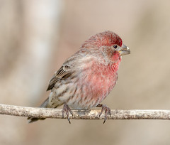 Male House Finch (tresed47) Tags: 2016 201612dec 20161217homebirds birds canon7d chestercounty content finch folder home housefinch pennsylvania peterscamera petersphotos places takenby us
