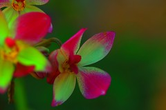 Red and  green (Rajavelu1) Tags: flowers red green plant nature beautyofnature art artwork artland canonef100mmf28macroisusmlens macro macrophotograph canon6d