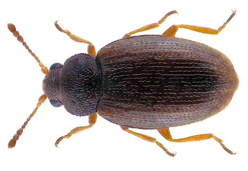 Corticarina minuta (Fabricius 1792) Syn.: Corticarina fuscula (Gyllenhal, 1827)