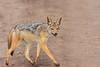 Chacal-de-dorso-negro (dragoms) Tags: africa kenya quénia olpejeta chacaldedorsonegro canismesomelas blackbackedjackal chacal nairobi mammal mamífero wildlife dragoms