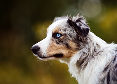 'Thought of the Day' (Jonathan Casey) Tags: collie dog portrait blue eyes nikon d810 200mm f2 vr