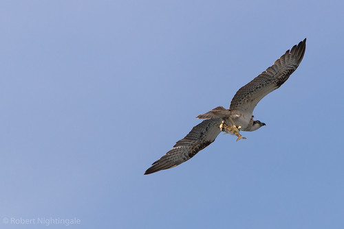An Osprey being a better fisherman than I'll ever be