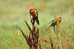 Eastern Rosellas (Luke6876) Tags: easternrosella rosella parrot bird animal wildlife australianwildlife
