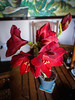 Red Amaryllis (michaeljohnbutton) Tags: amaryllis beautiful bulb flowers plant red