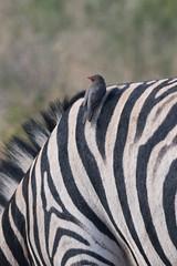 DSC_5144 (mylesm00re) Tags: africa buphaguserythrorhynchus burchellszebra equusquaggaburchellii limpopo redbilledoxpecker rooibekrenostervoel welgevondengamereserve za bird mhondorogamelodge sebra southafrica waterhole zebra