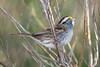 White-throated Sparrow (stephaniepluscht) Tags: alabama 2017 gulf state park shores whitethroated white throat throated sparrow