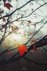 (Rebecca812) Tags: morning leaf fog autumn nature tree branches bare orange beautyinnature sunlight canon rebecca812