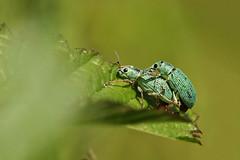 Zijdeglansbladsnuitkever - Polydrusus formosus (merijnloeve) Tags: zijdeglansbladsnuitkever polydrusus formosus weevil beatle kever gouda groen copula