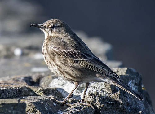 ROCK PIPIT (often overlooked)