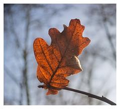 Leaves are brown (leo.roos) Tags: leaf leaves blad bladeren veins nerven brown bruin meyertrioplan1728 1939 cmount cinelens movie nex6 nex dayprime day17 dayprime2017 dyxum challenge prime primes lens lenses lenzen brandpuntsafstand focallength fl darosa leoroos