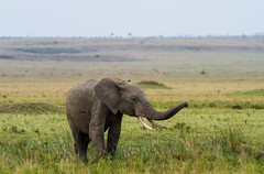 Elephant Maasai Mara (Mathieu Pierre) Tags: elephant maasai mara national reserve narok county kenya safari canon 7d 70200mm african animals melting pot éléphant extérieur animal paysage prairie champ wildlife