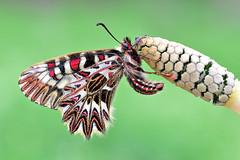 Zerynthia polyxena cassandra (Mascamit) Tags: zerynthia polyxena cassandra papilionide lepidottero bassanoromano viterbo lazio natura farfalla farfalle macro