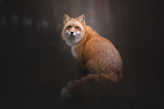 Portrait of Red Fox