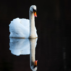 a pair of white swans live on the Mill Dam (3) (grahamrobb888) Tags: nikon nikond800 sigma sigma120400mm scotland perthshire dunkeld water wet reflection